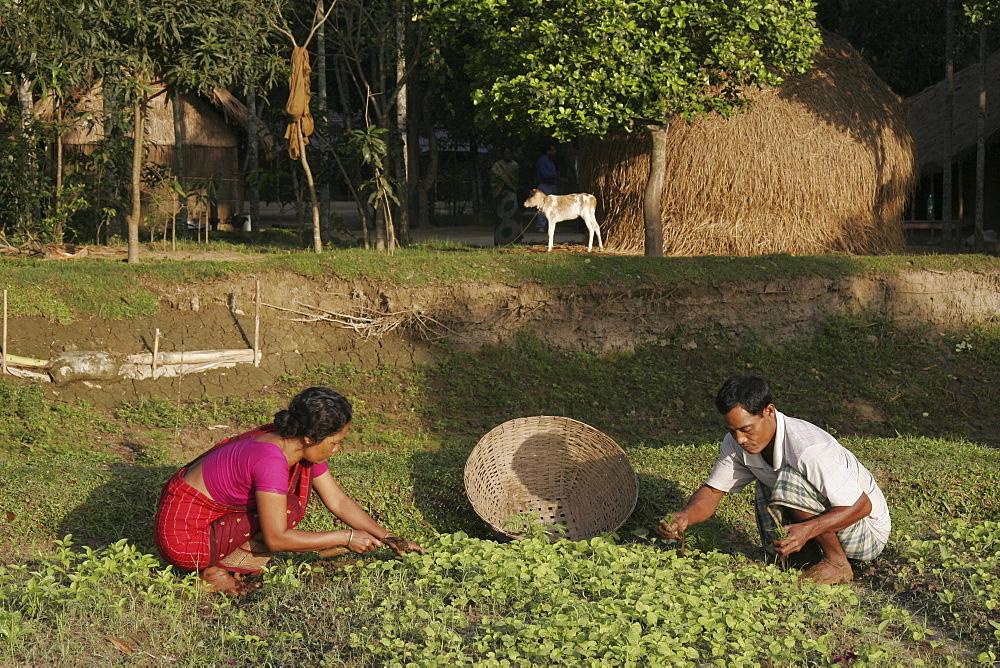 Bangladeshalpona ritchil and husband farid pathang of the garo tribal minority weeding their vegetable garden,haluaghat, mymensingh region