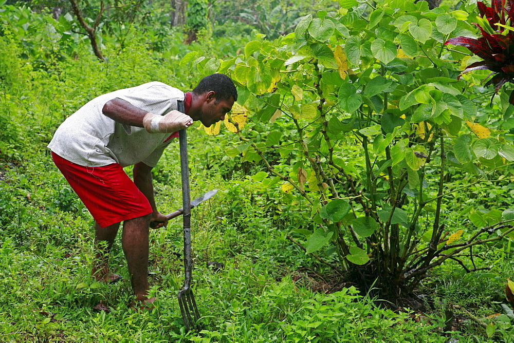 Fiji atanasio dianiroue, 24, cultivating yaqona, the plant which produces kava, taveuni photo by sean sprague