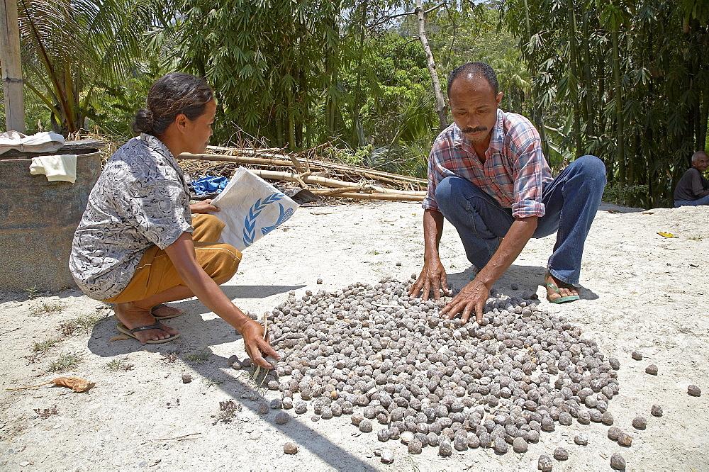 East timor. Marcelino de costa and domingas de sousa, candlenut farmers, drying nuts in the sun. Baucau