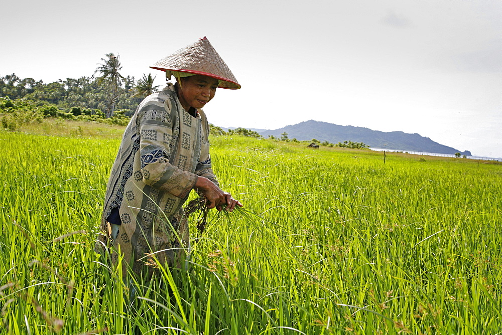 Indonesia irawati, a woman farmer weeding her rice field in blang situngkoh, pulo aceh, aceh. this will be the first rice harvest since the tsunami. 2 years after the tsunami