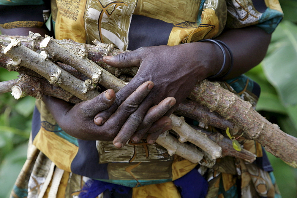 Uganda close-up of cassava stems which will be planted and soon sprout. kayunga district
