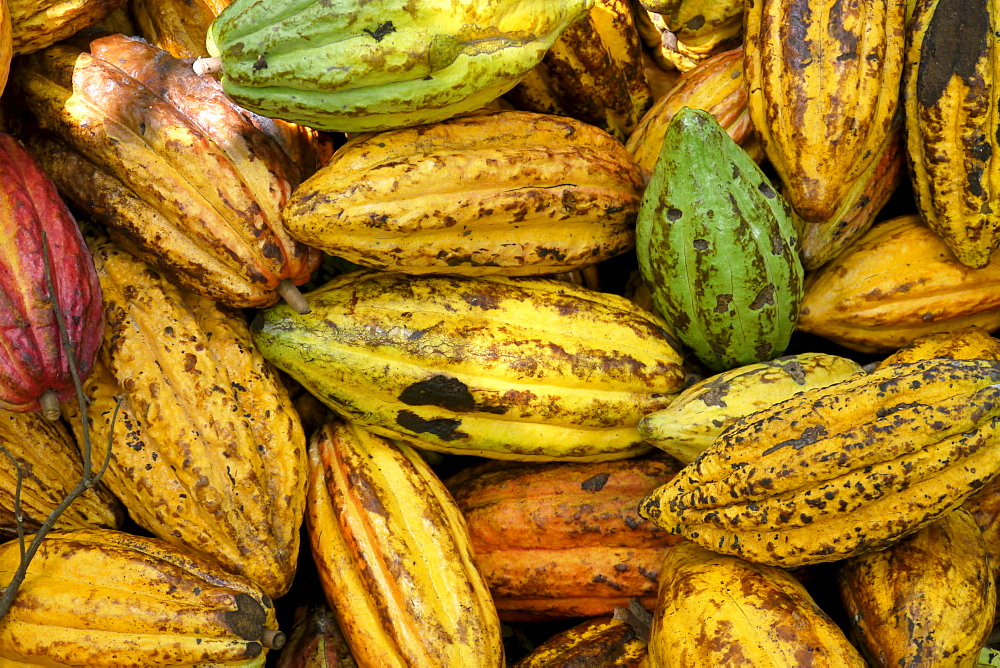 BOLIVIA ECOTOPS projects in Alto Beni. Harvested cacao fruits