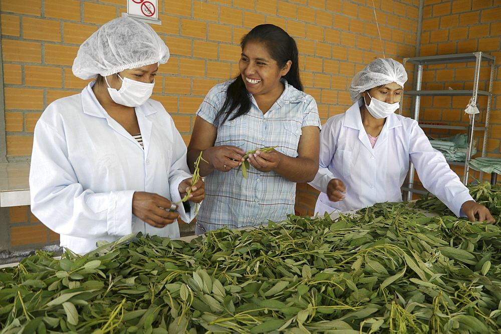 BOLIVIA Plant for processing medicinal and aromatic herbs, Chizchipani, Caranavi. The project of FUNDAWI. Cleaning and drying Salvia, a medicinal plant used for coughs and stomach problems.