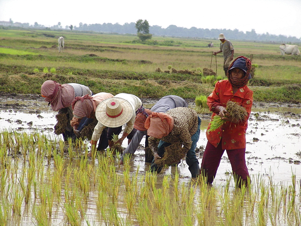 Cambodia transplanting rice in kampong thom province