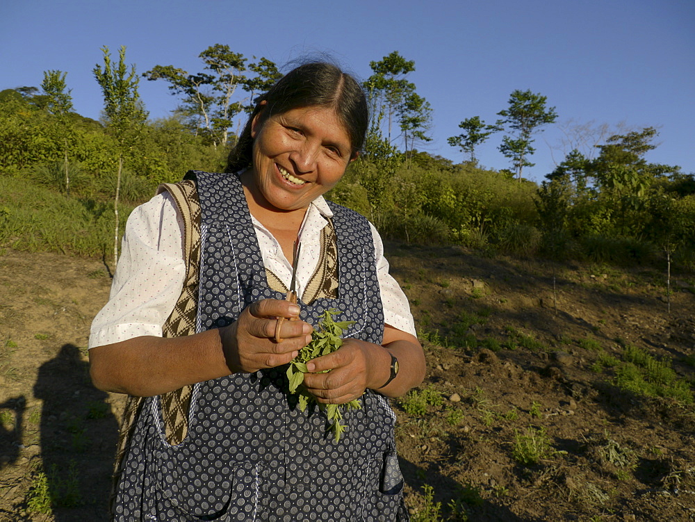 BOLIVIA Cultivating estevia which is a natural sweetener, good for diabetes, in Santa Fe, Caranavi.