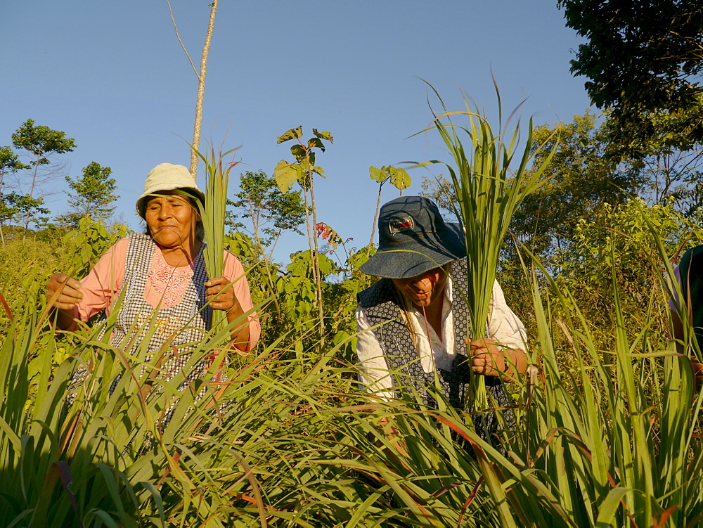 BOLIVIA Alejandra Roque, Gendra Colque and Domitila Apaza harvesting organic lemongrass in the hills above Santa Fe, near Caranavi
