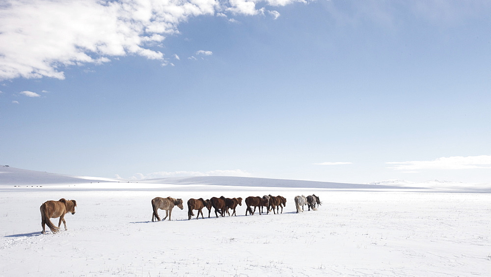 A herd of horses walks on the frozen lands of Mongolia, Central Asia, Asia