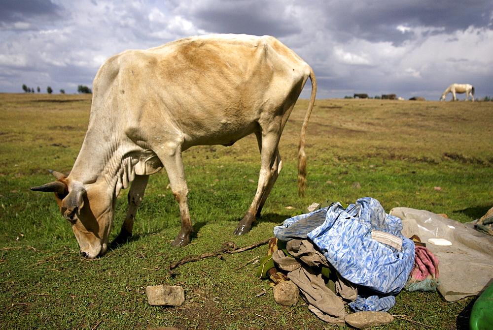 Skiny cow in hanamerant area, meket, ethiopia