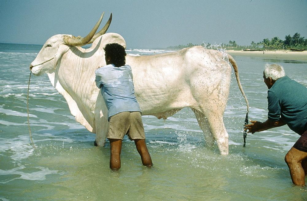 Goan beaches, washing bull. India