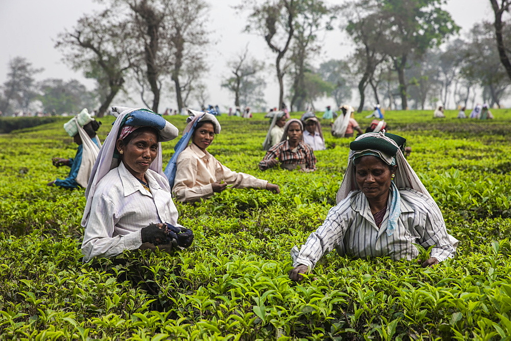 Tea garden in Silliguri, Sikkim, India, Asia