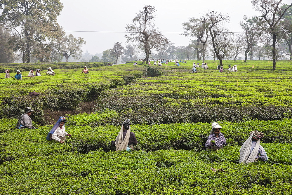 Tea garden in Silliguri, Sikkim, India, Asia - 1196-298