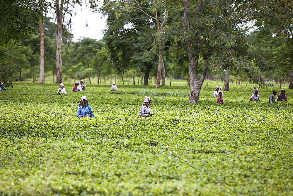Tea Garden in Dibrugarh, Assam, India, Asia