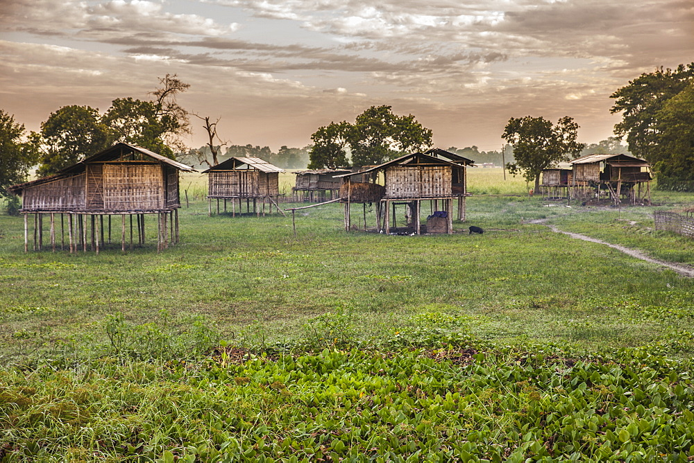 Miching Tribe huts at Dhapak Village in Majuli Island, built at height to avoid potenial flood on Brahamaputra during Monsoon, Assam, India, Asia