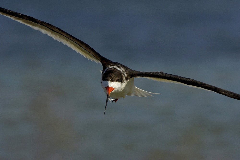 Black skimmer (rynchops niger) florida, usa, in flight.