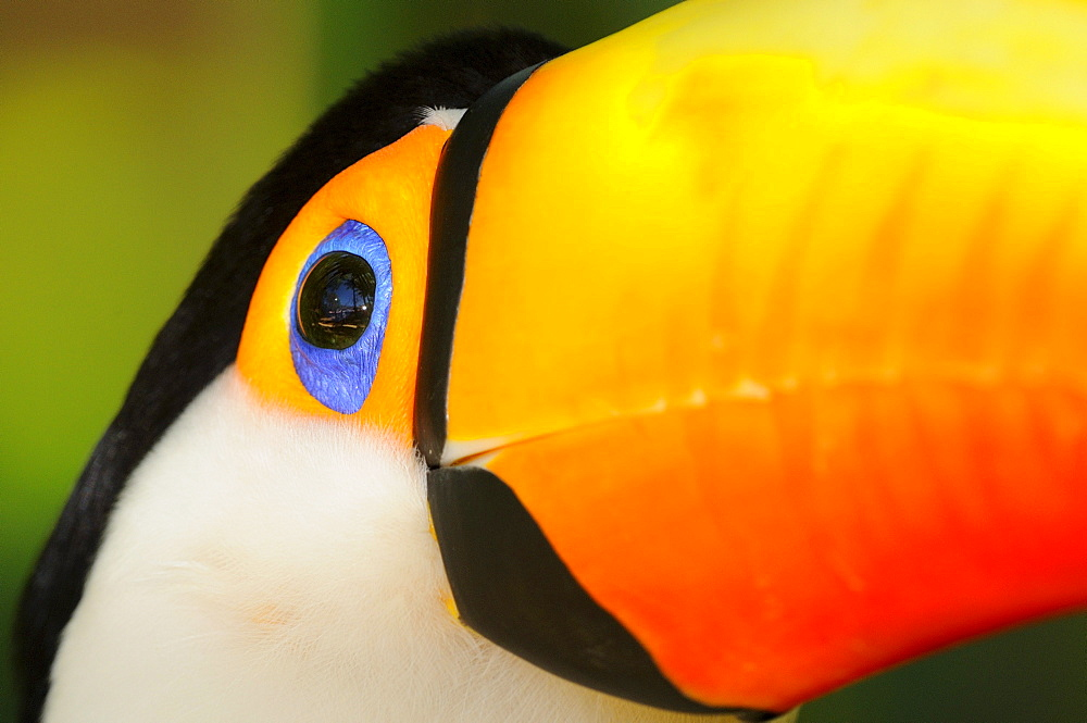 Toco toucan (ramphastos toco) close,up of head showing blue eyering, captive, brazil.