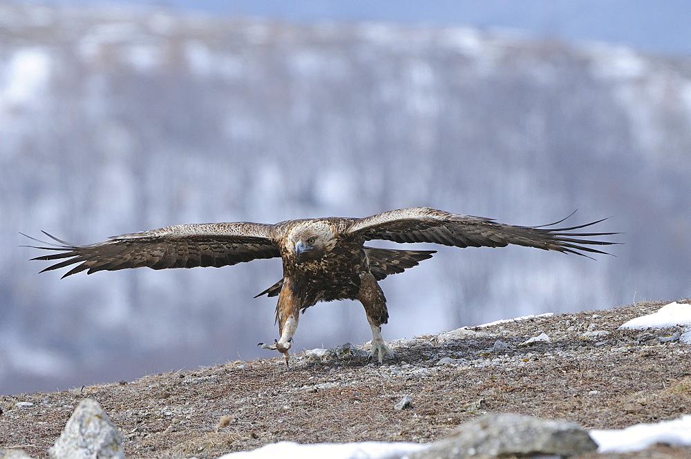 Golden eagle (aquila chrysaetos) running along ground in winter, carpathian mountains, bulgaria