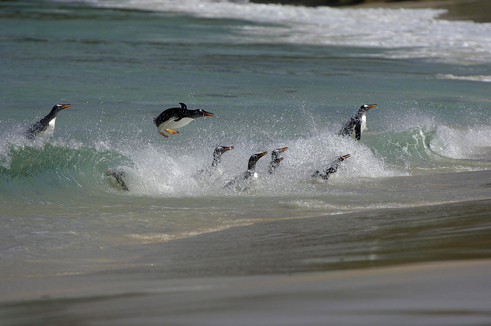 Gentoo penguin (pygoscelis papua) new island, falkland islands, group swimming and porpoising through the surf onto the beach.