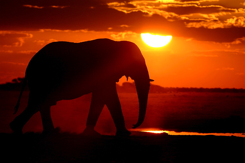 African elephants. Loxodonta africana. Walking to waterhole at sunset. Nxai pan, botswana