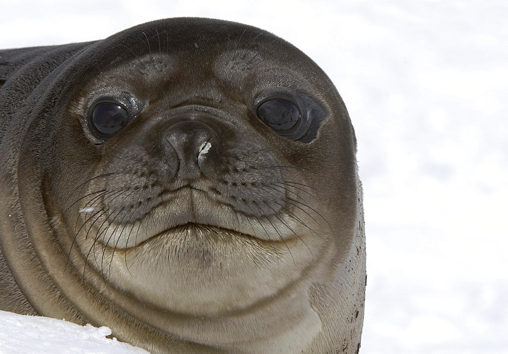 Seal (mirounga leonina) pup, close-up of face, south georgia.