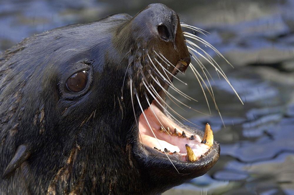 South american fur seal (arctocephalus australis) native of south america and the falkland islands (captive bristol zoo)