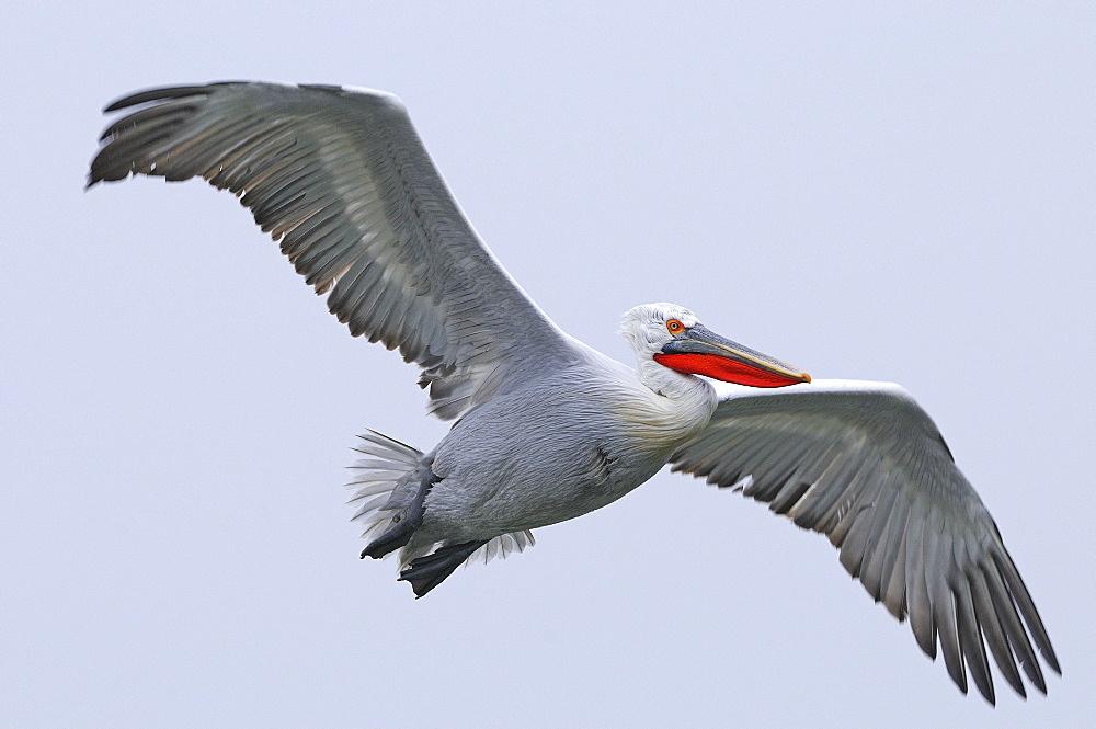 Dalmatian pelican (pelecanus crispus) adult in breeding plumage, in flight, lake kerkini, greece