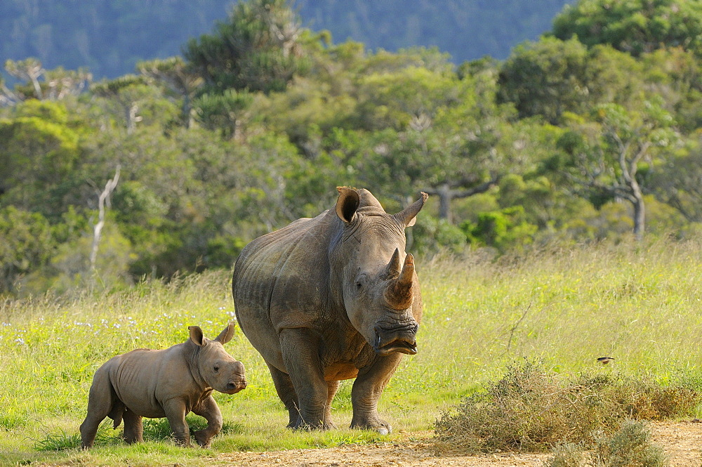 White rhinoceros (ceratotherium simum) and calf, eastern cape, south africa