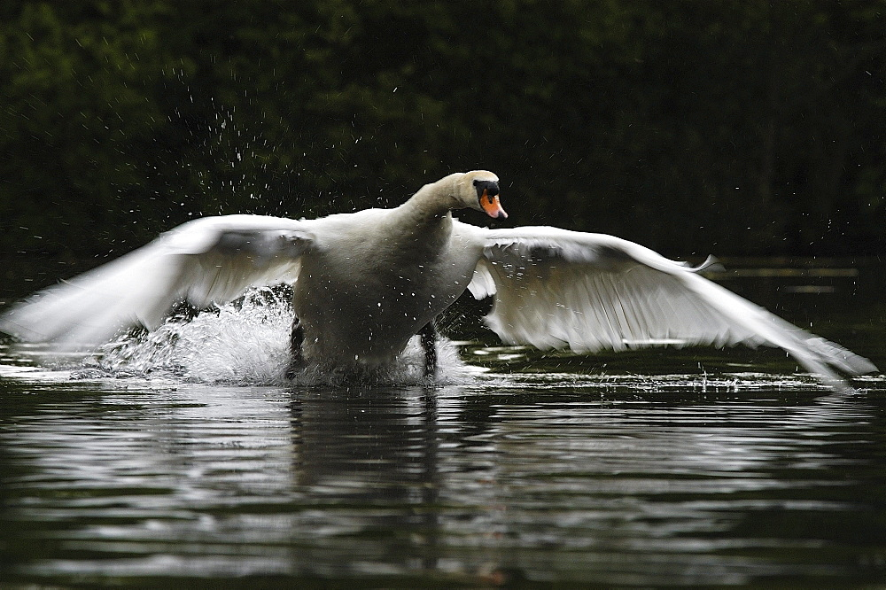 Mute swan (cygnus olor) oxfordshire, uk, charging across water surface towards camera