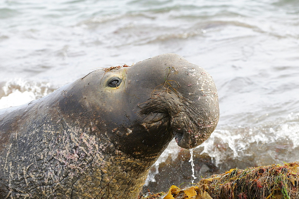 Northern elephant seal (mirounga angustirostris) male portrait, san benitos island, baja, mexico