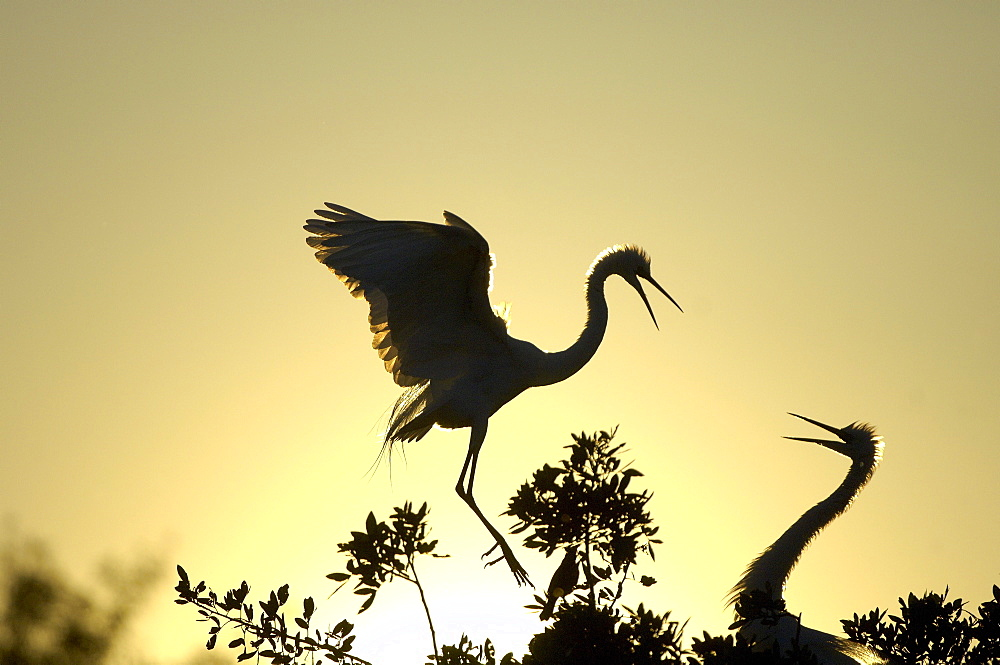 Great white egret (casmerodius alba) florida, usa, silhouette, adults greeting each other at sunset.