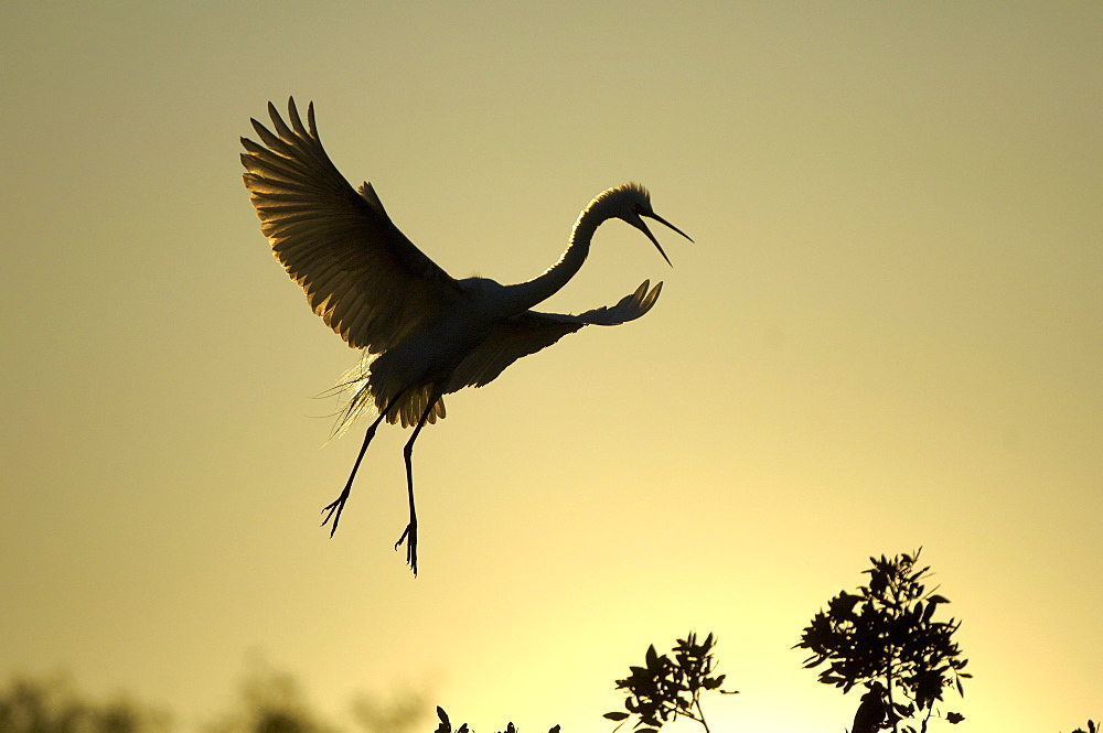 Great white egret (casmerodius alba) florida, usa, adult about to land at sunset.