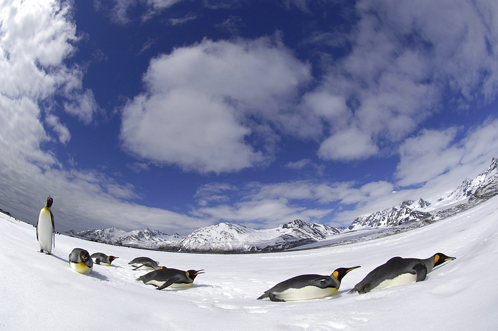 King penguins (aptenodytes patagonicus) st andrews bay, south georgia, small group in snowy landscape, fish-eye view