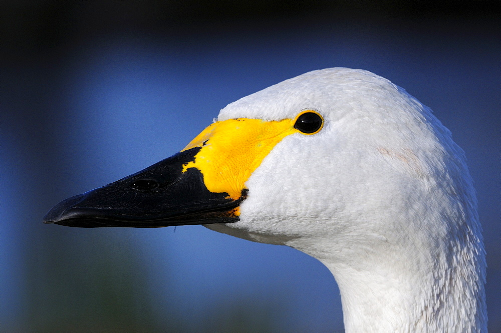 Bewick's Swan (Cygnus columbianus) close-up of head showing yellow and black beak, Slimbridge, UK