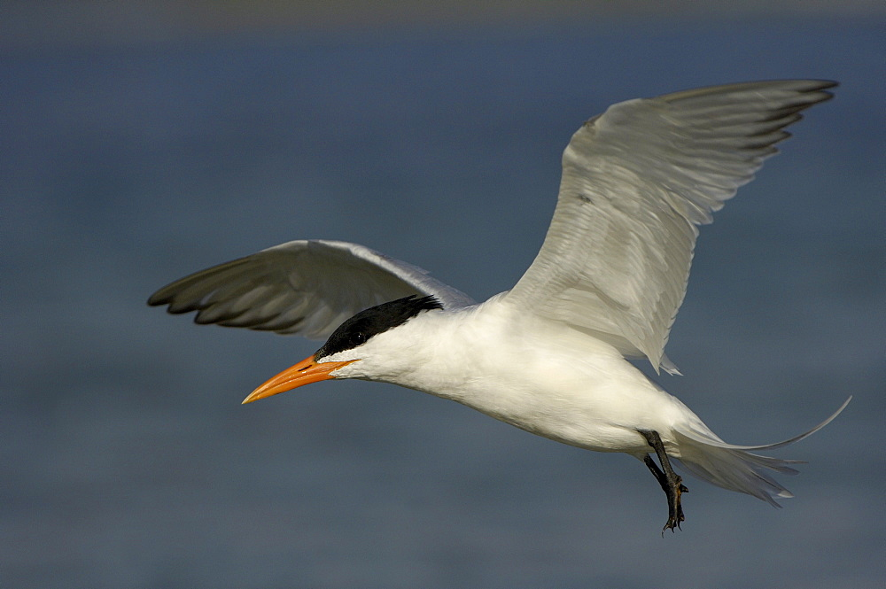 Royal tern (sterna maxima) florida, usa, in flight.