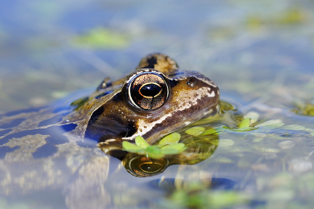 Common Frog (Rana temporaria) resting at water surface, close-up of head and eye, Oxfordshire, UK