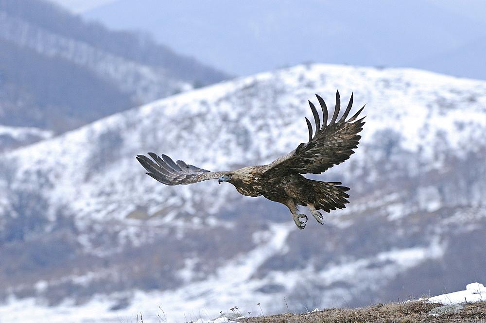 Golden eagle (aquila chrysaetos) in flight in winter, carpathian mountains, bulgaria