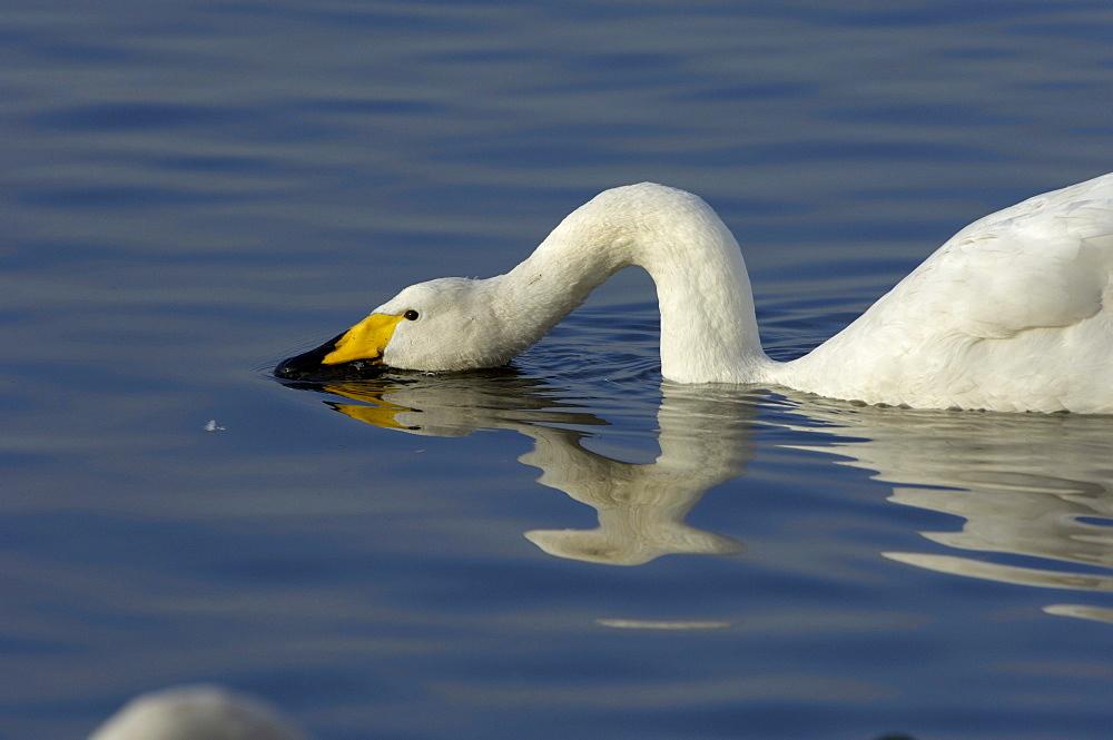 Whooper swan (cygnus cygnus) feeding at water surface, martin mere, uk