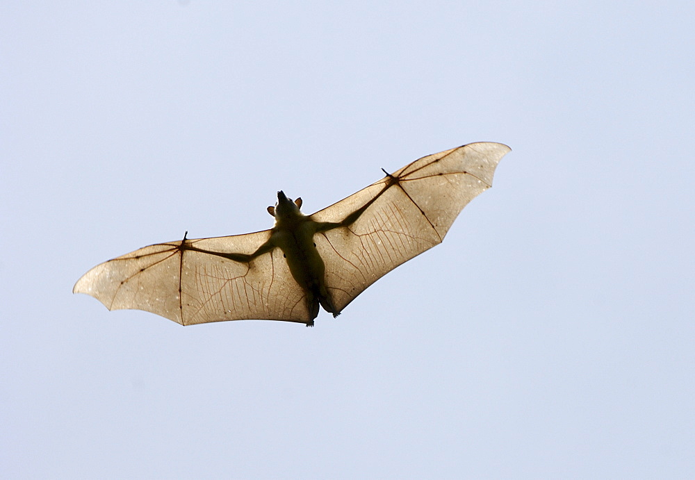 Straw-coloured fruit bat (eidolon helvum) kasanka  park, zambia, in flight, view from below, wings outstretched.