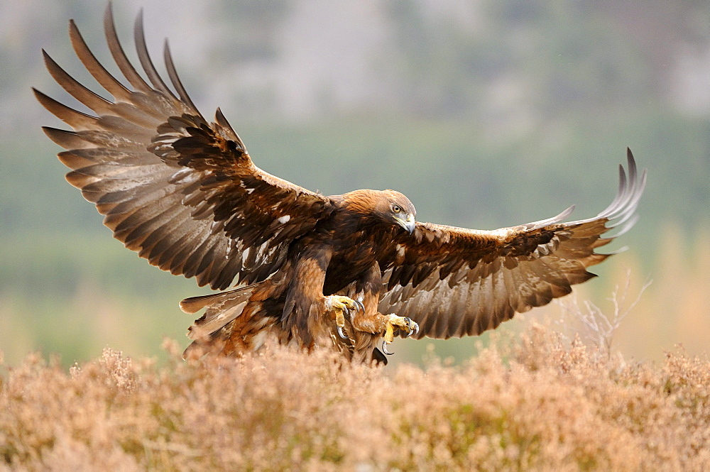 Golden eagle (aquila chrysaetos) about to land, wings spread, talons outstretched, scotland, captive