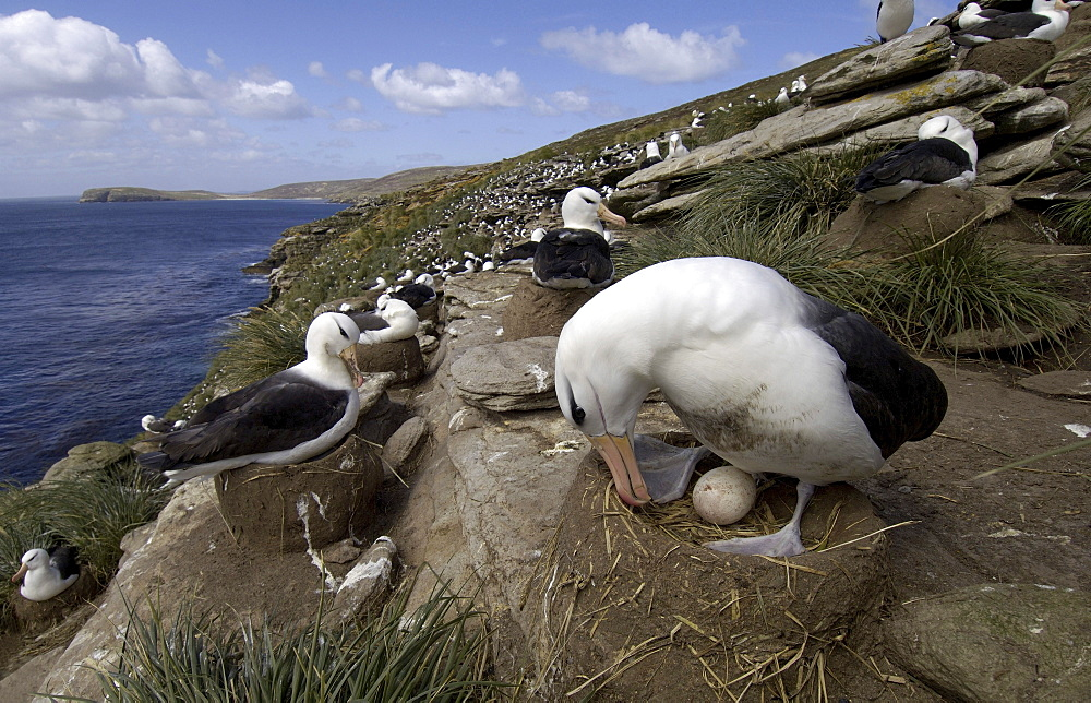 Black-browed albatross (diomedea melanophoris) falkland islands, sat on nest, showing egg and colony behind