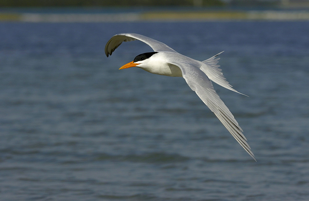 Royal tern (sterna maxima) florida, usa, in flight over water.