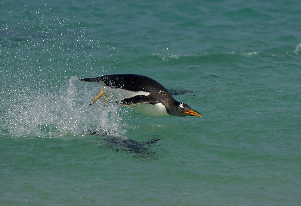 Gentoo penguin (pygoscelis papua) new island, falkland islands, porpoising, leaping from water.