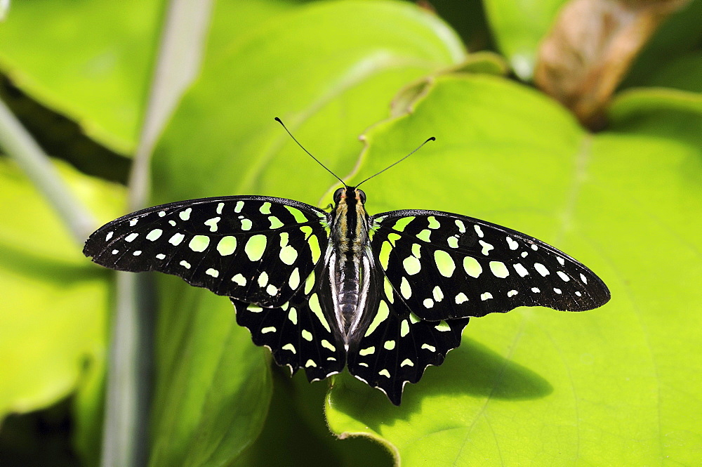 Tailed jay butterfly (graphium agamemnon) or green-spotted triangle, native to asia and australiasia