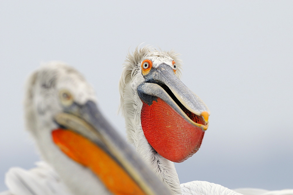 Dalmatian pelican (pelecanus crispus) portrait of adult in breeding pluamge, bill pouch extended, lake kerkini, greece