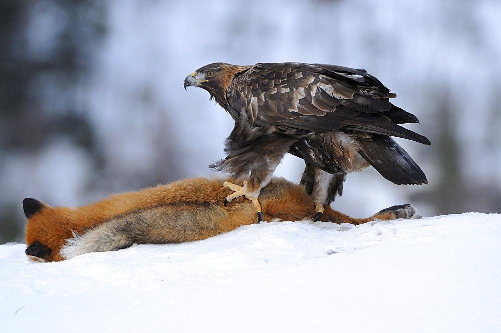 Golden eagle (aquiulas chrysaetos) feeding in snow on dead fox, norway