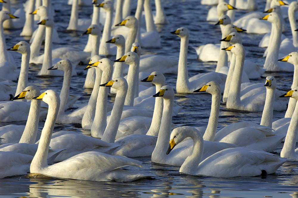 Whooper swans (cygnus cygnus) herd on water, martin mere, uk