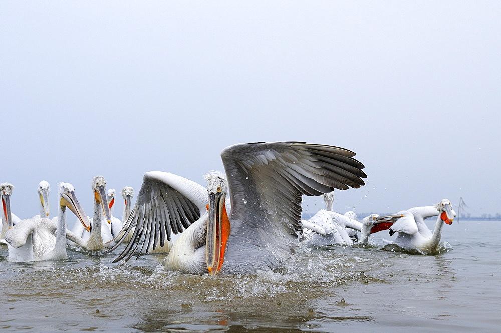 Dalmatian pelican (pelecanus crispus) catching fish, lake kerkini, greece