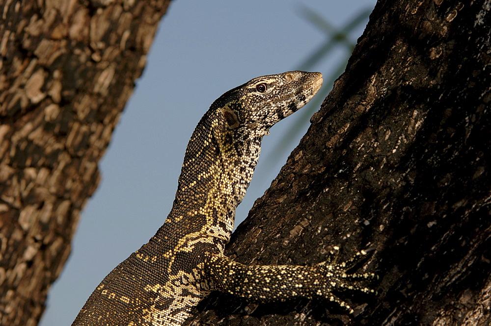 Nile monitor. Varanus niloticus. Climbing tree. Chobe, botswana