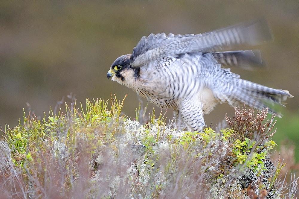 Peregrine falcon (falco peregrinus) ruffling feathers, scotland, captive