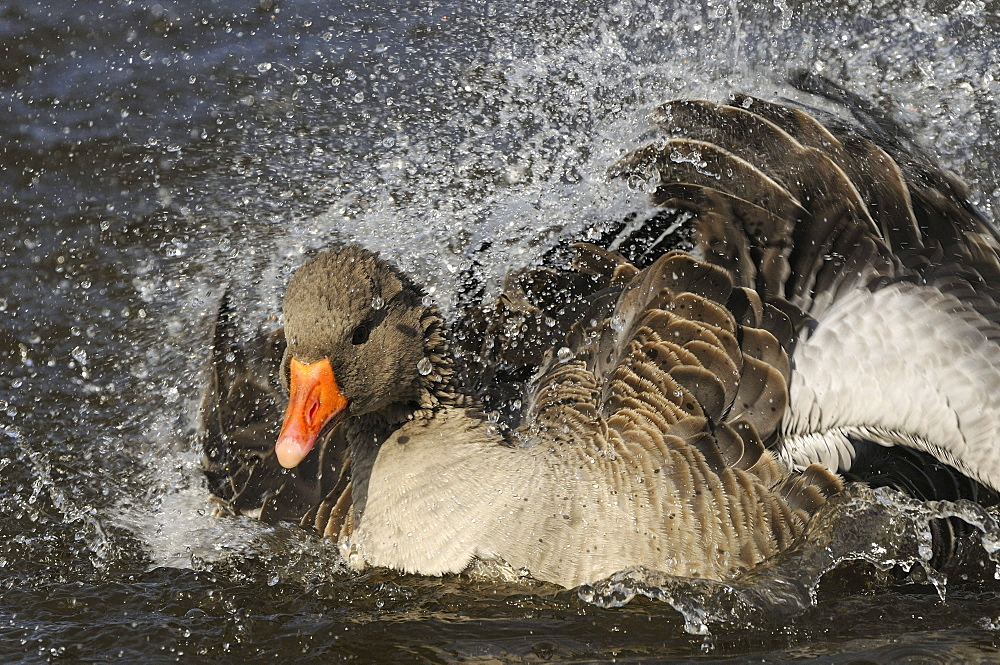 Greylag goose (anser anser) splashing, washing, bathing, oxfordshire, uk