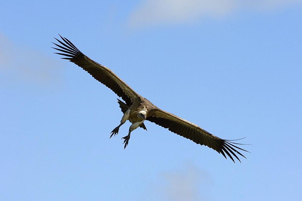 White-backed vulture (gyps africanus) masai mara, kenya, in flight, about to land.